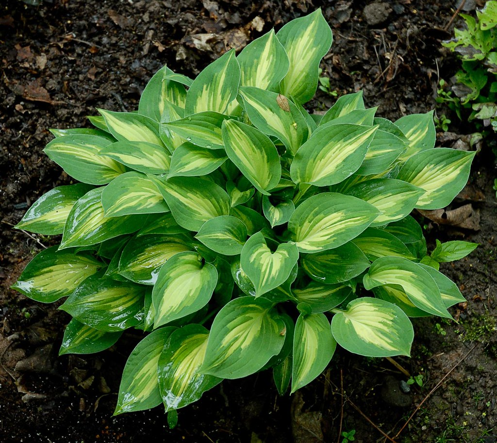 small hostas - The perfect side dish to the big fellas….