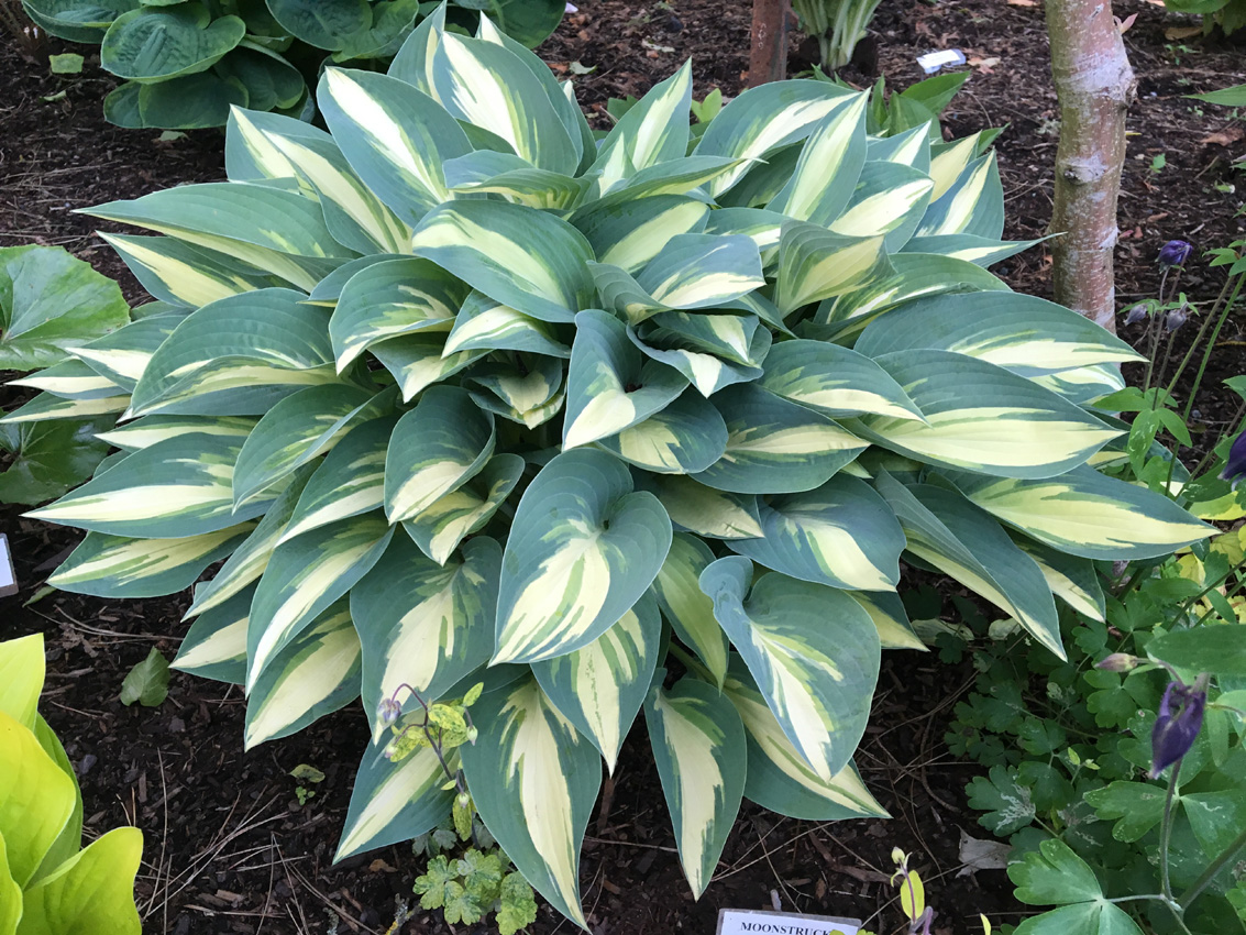 Hosta 'Moonstruck'. Now come on, who could describe this as anything other than completely stunning!?