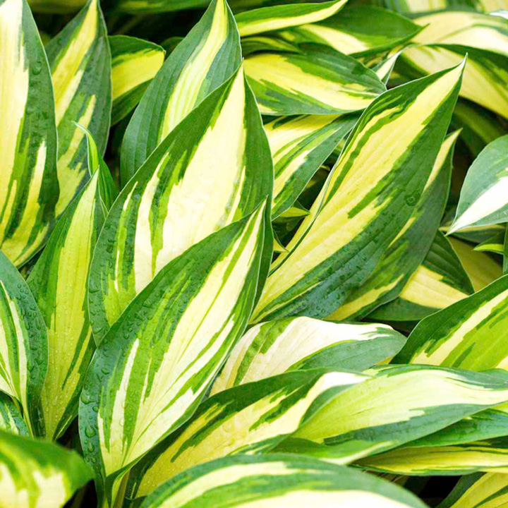 Hosta 'Cherry Berry', one of my personal favourites, quick to grow and very striking.