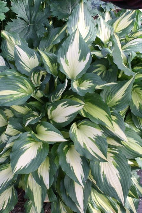 Hosta 'Christmas Candy', for those who just can't wait until 25/12…..