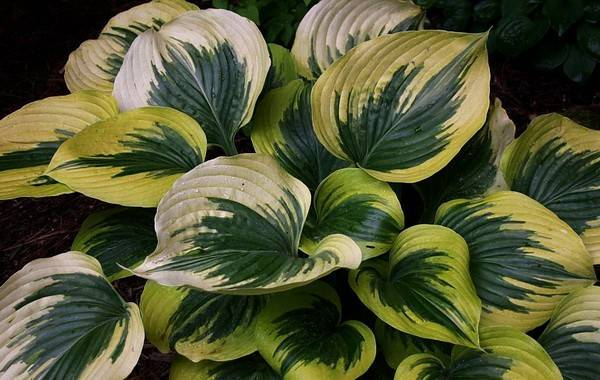 large hostas - Will create real theatre in a pot or in the border….just give them some space to show off!