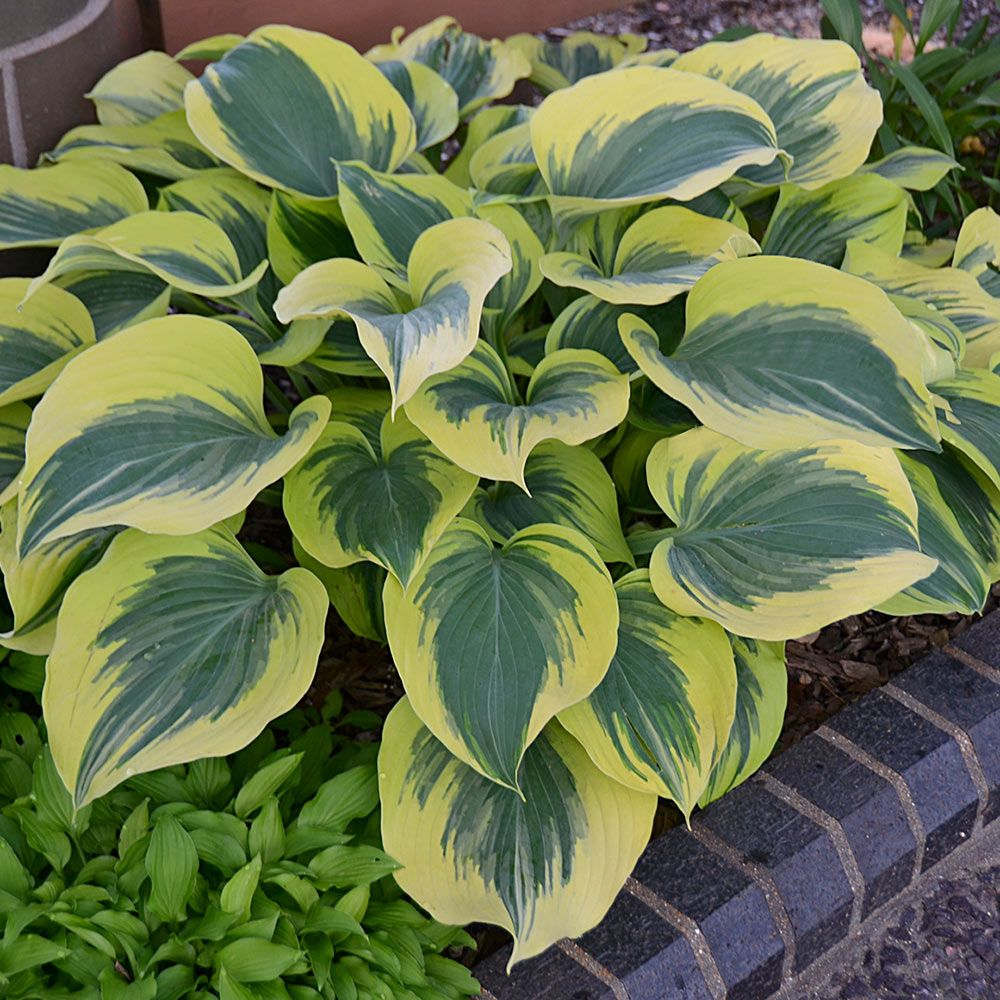 Hosta 'Liberty'….personally looking forward to this one more than any other, it's an awesome variety that always attracts attention.