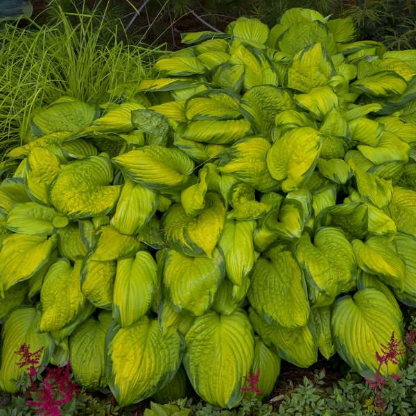 Hosta 'Stained Glass', easy, quick to bulk up, and fragrant flowers too.