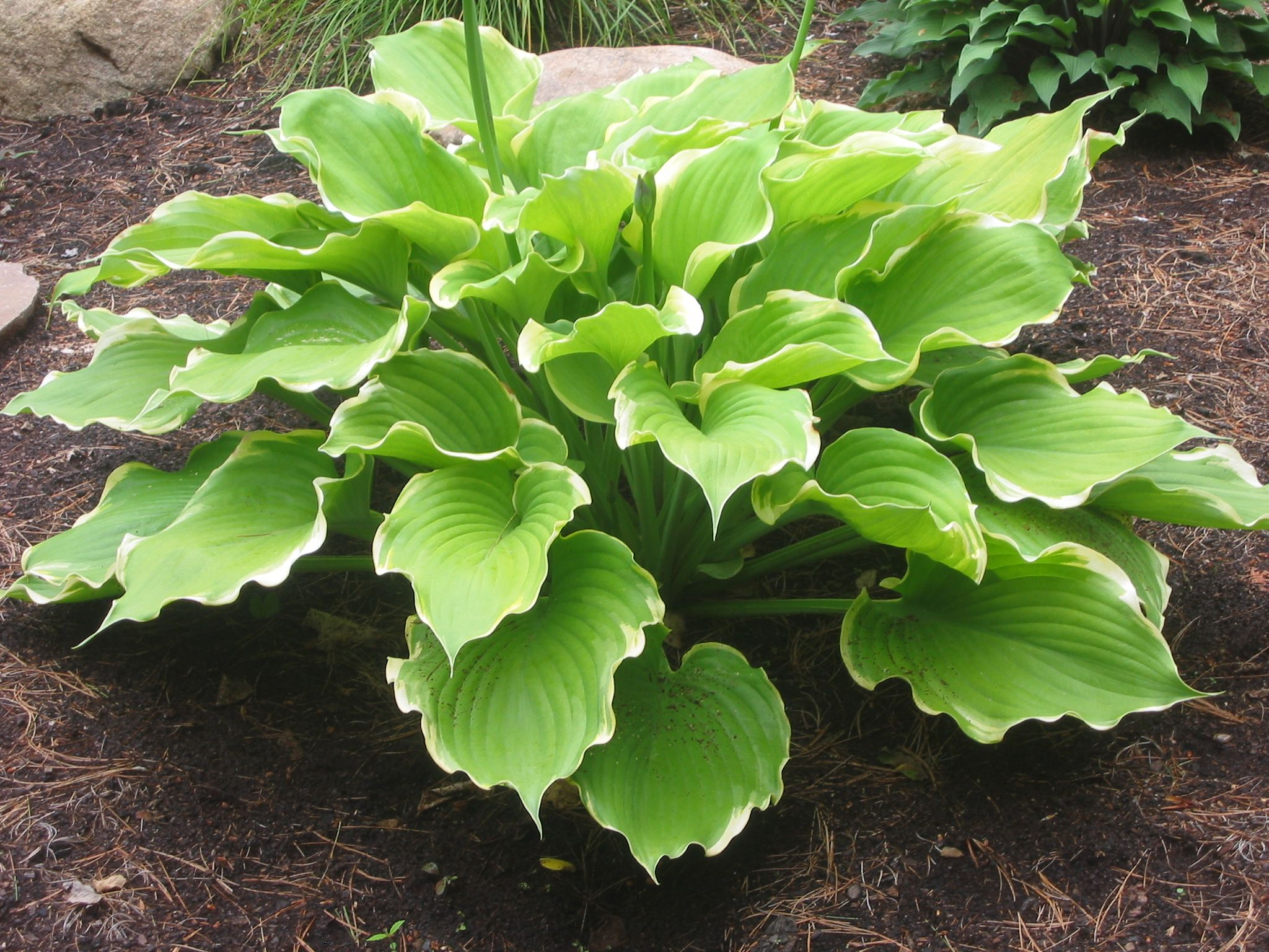 Hosta 'Winter Snow', a brilliant variation on 'Sum & Substance', with delicate variegation. Stunning.