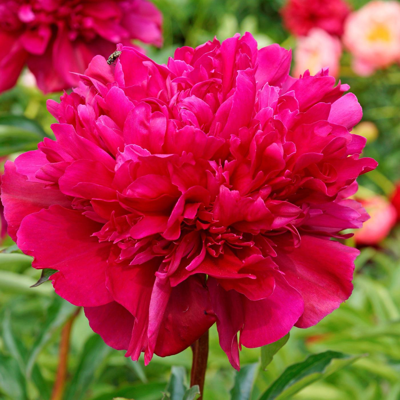Paeonia 'Big Ben', a sumptuous red.