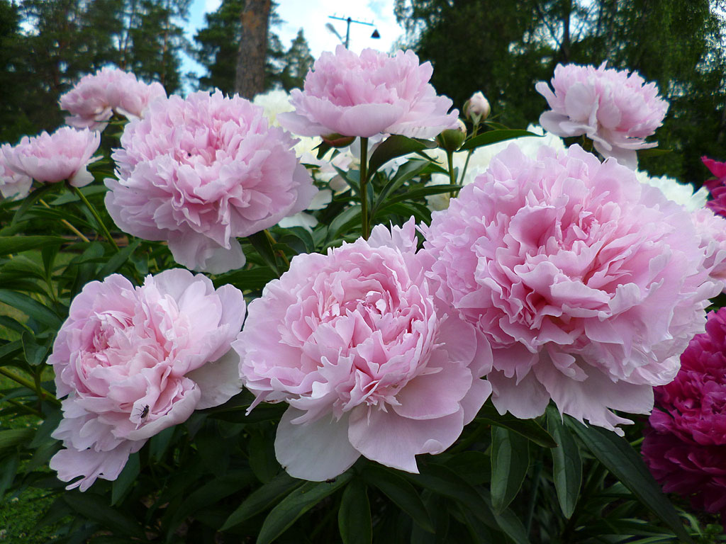 Paeonia 'Nancy Nora', a captivating pink double, almost rose-like.