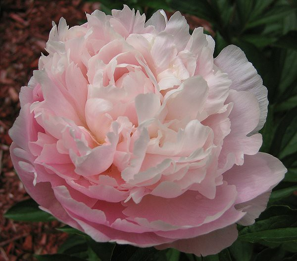 Paeonia 'Moonstone', a superb blush pink with exquisite fragrance.
