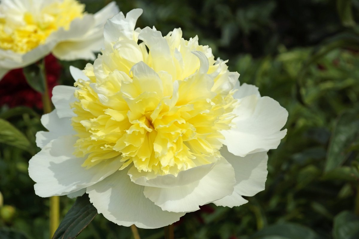 Paeonia 'Honey Gold', starts as an Anemone then becomes double as it ages.
