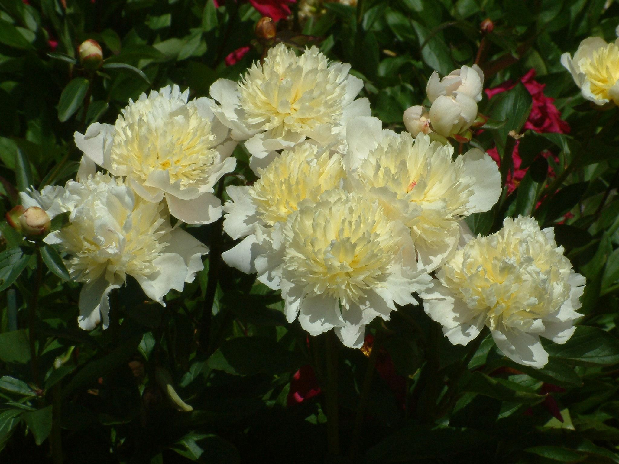 Paeonia 'Laura Dessert', as close to yellow as lots of Paeonias get….