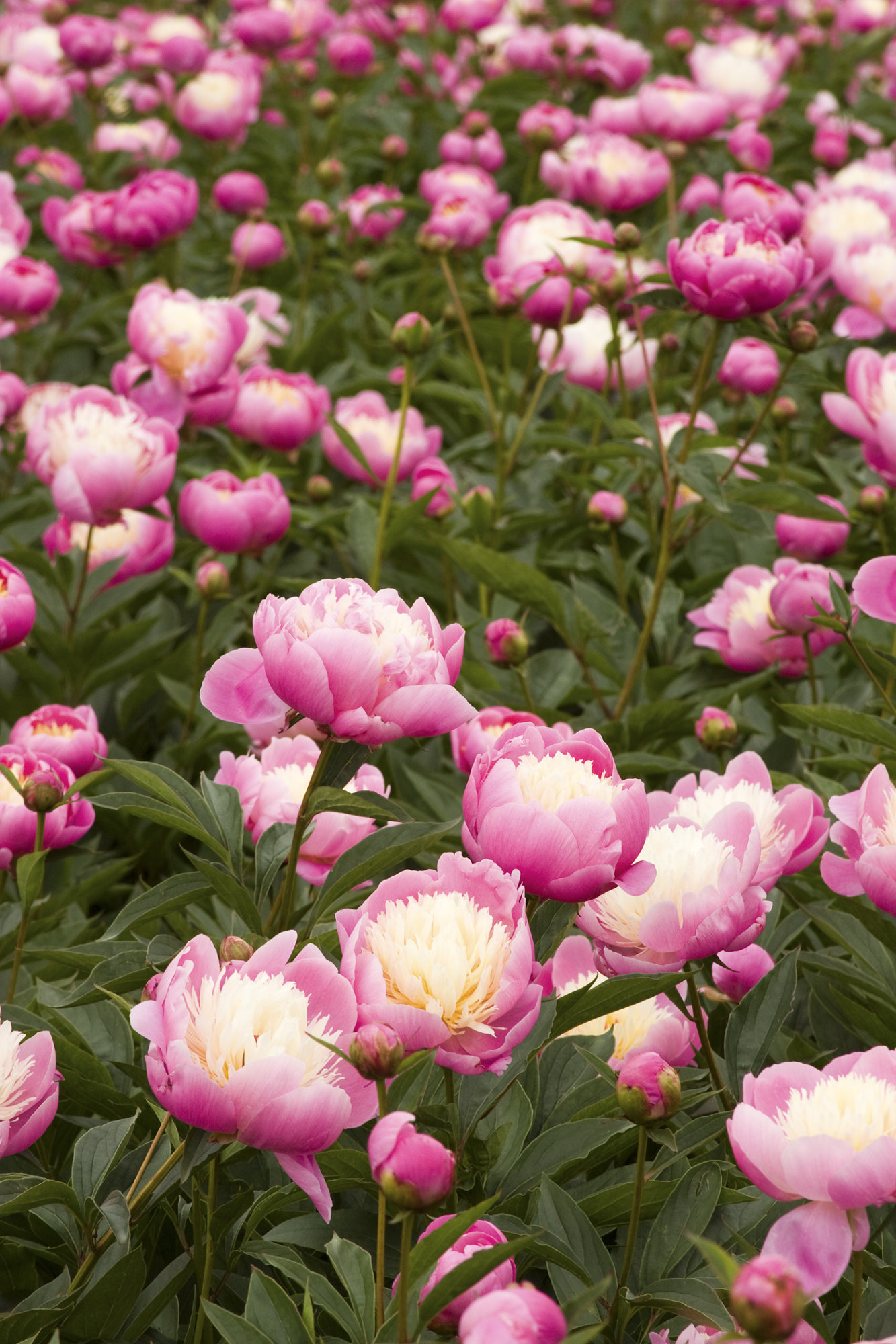 Paeonia 'Bowl of Beauty', very popular and deservedly so!