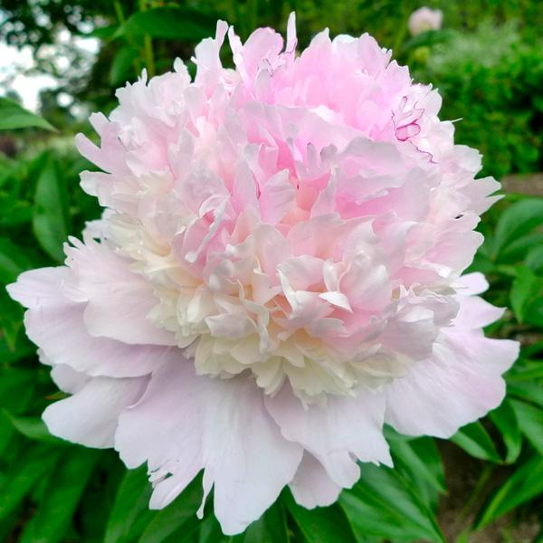 Paeonia 'Petticoat Flounce', another exquitite variety belonging to the 'Bomb' class.