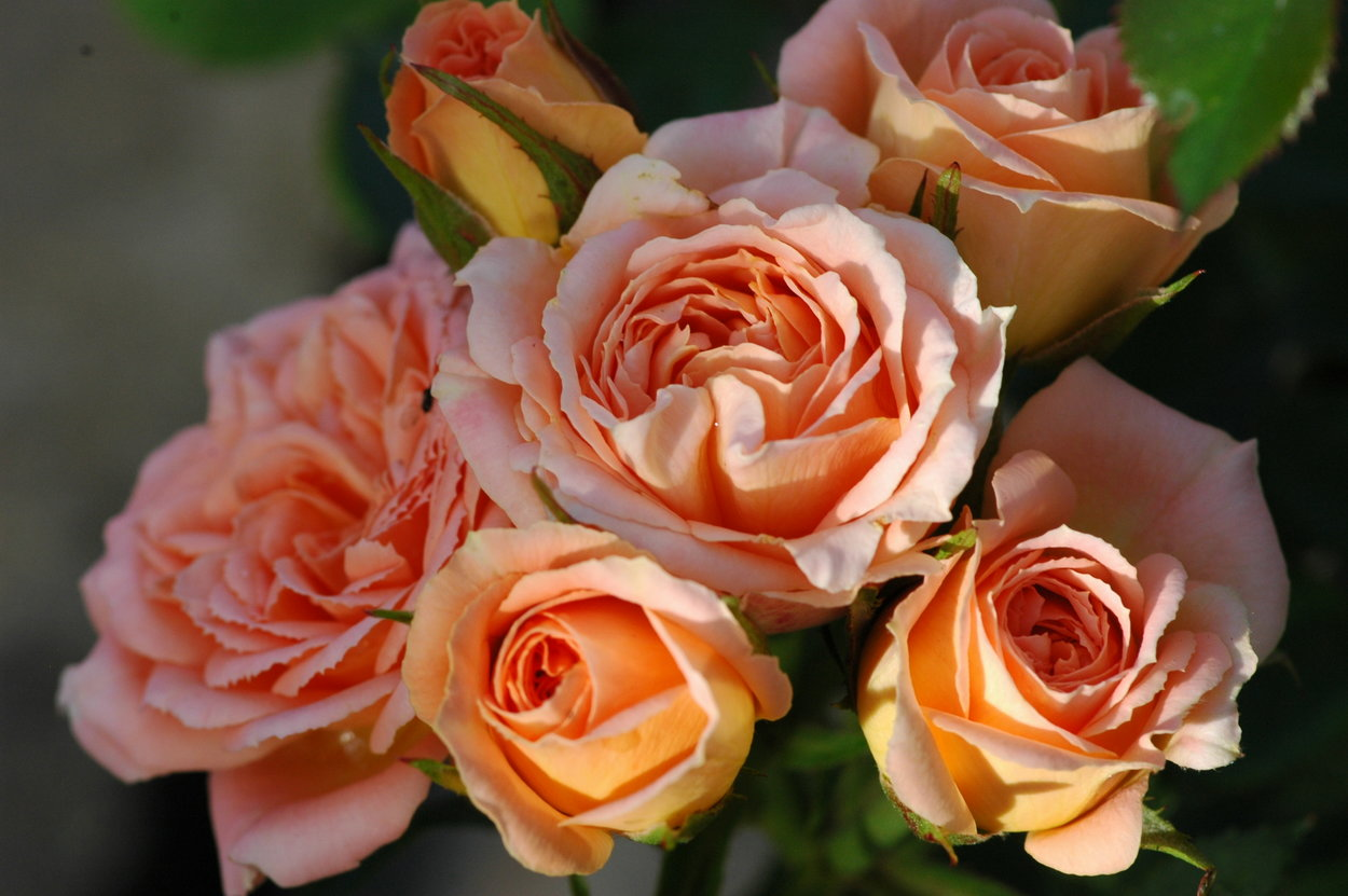 miniature & patio roses - They get bigger from here on….