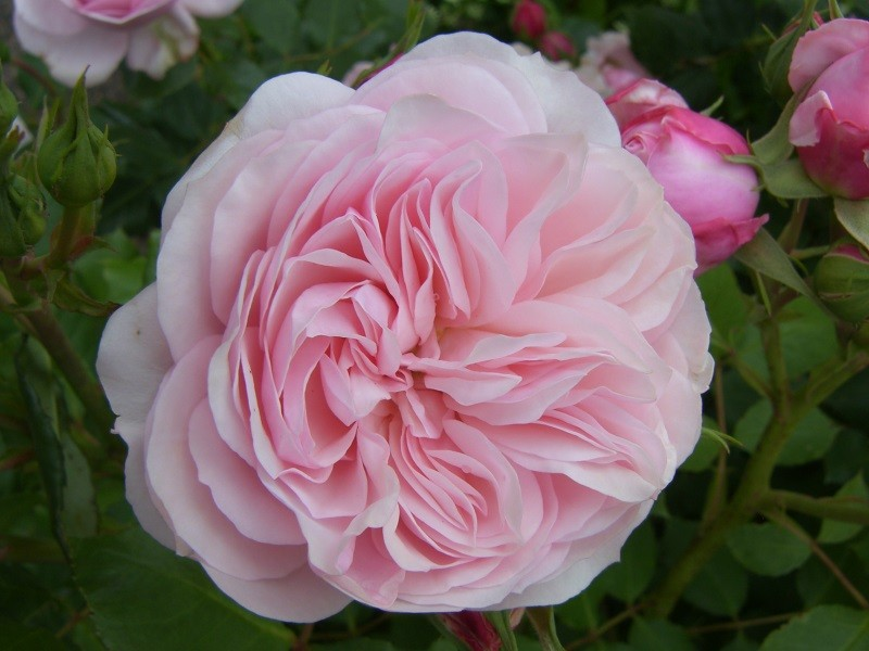 shrub and modern shrub roses - Some of the most exquisite roses you'll find