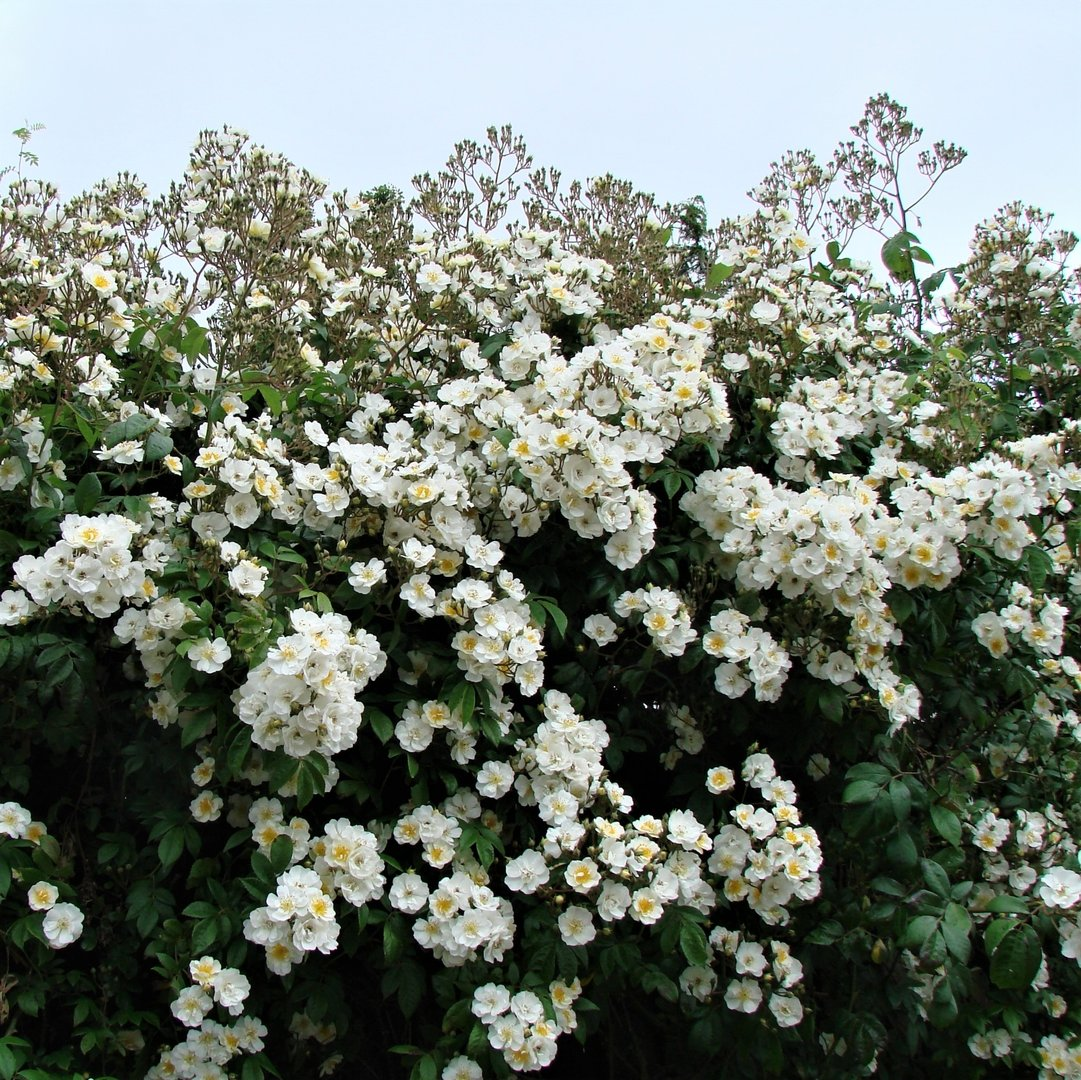 RAMBLING ROSES - We're going to need a bigger trellis….