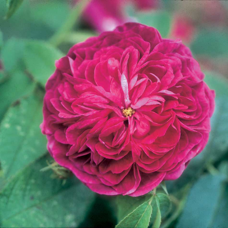 'Charles de Mills', large fragrant magenta red flowers, it's been around since 1790!