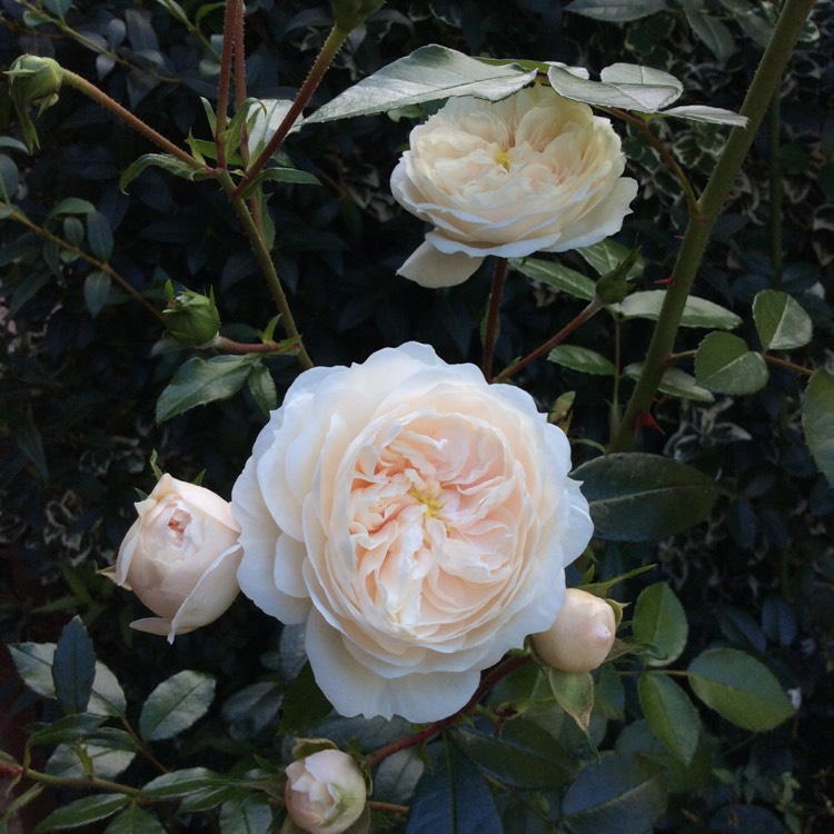 'Macmillan Nurse', creamy white, sometimes overlaid with a little peach. It's exquisite!