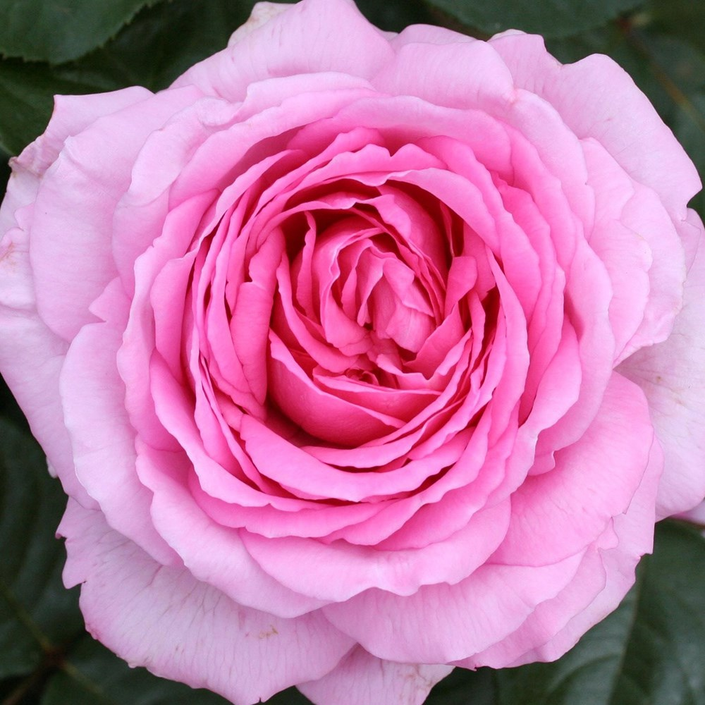 hybrid teas - Like 'Mum in a Million'…one of our best sellers!