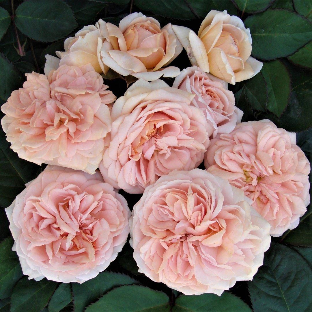 the floribundas - Like 'Joie de Vivre', a little beauty!