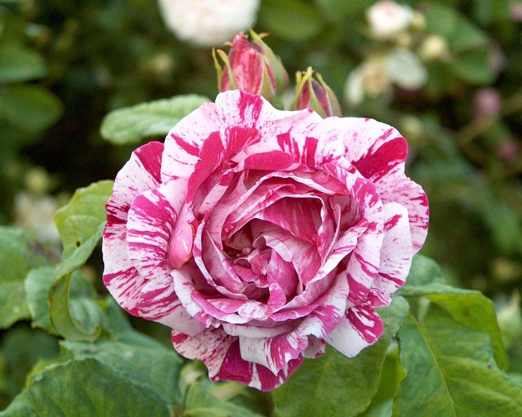 the old roses - Still pretty wonderful though
