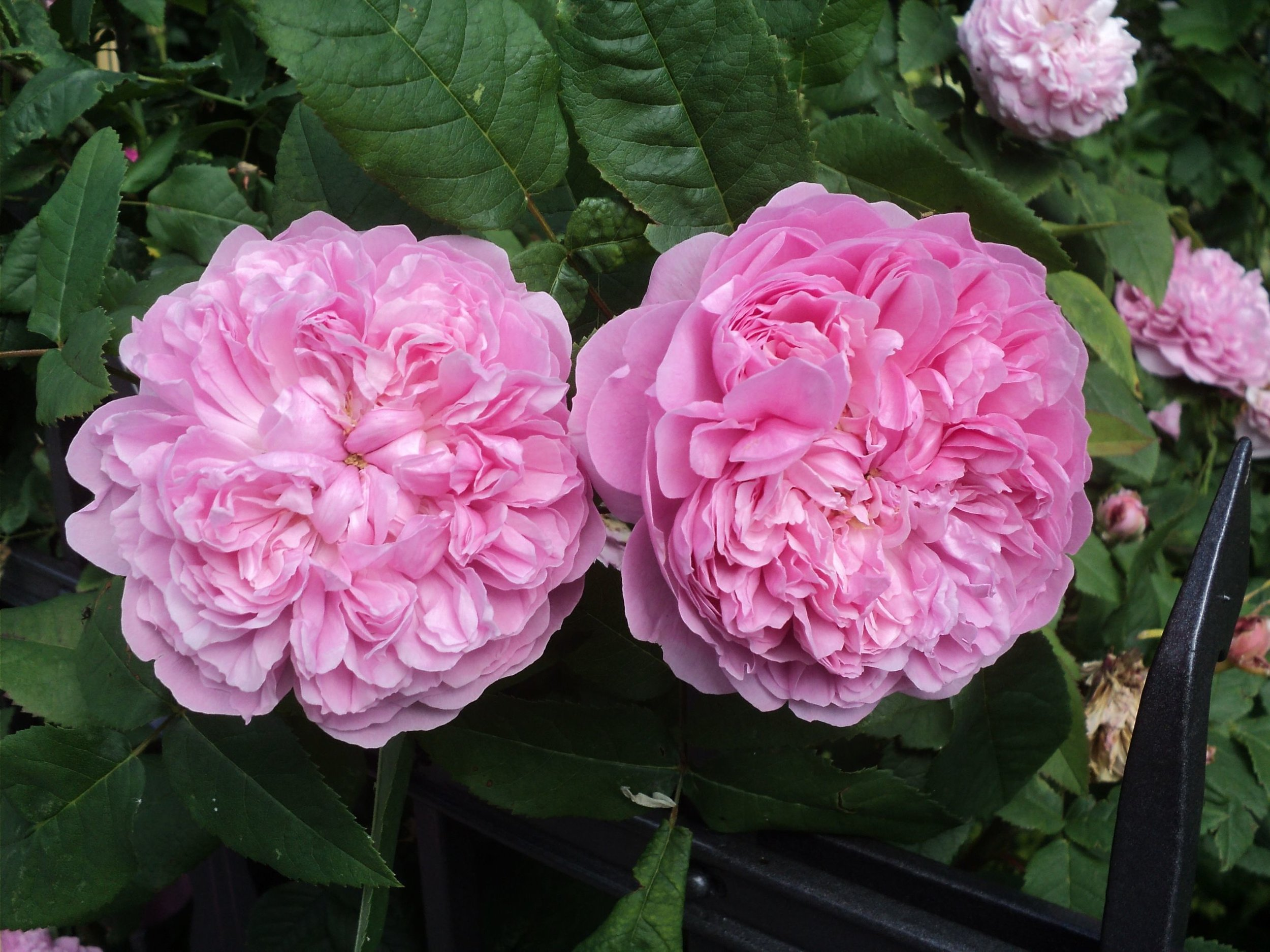 'Jacques Cartier' from £4.50