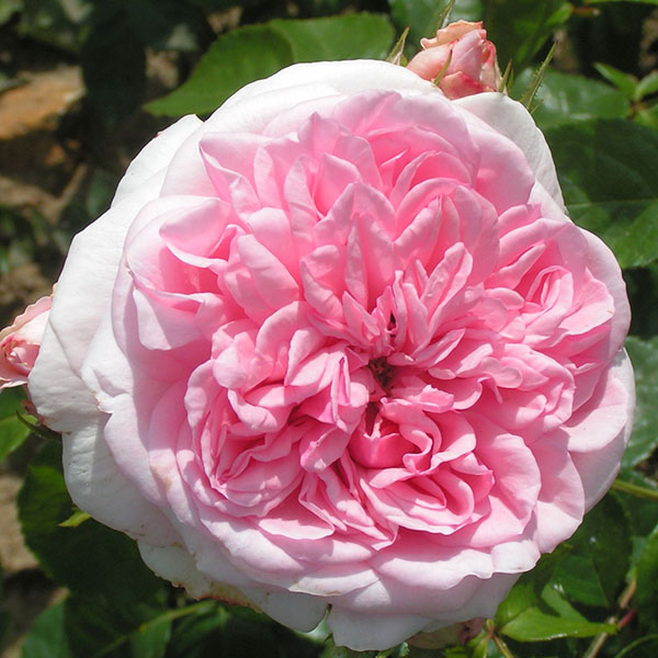 climbing roses - Fill your walls with scent and colour!