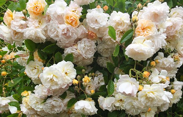 rambling roses - Subtly different to the Climbers
