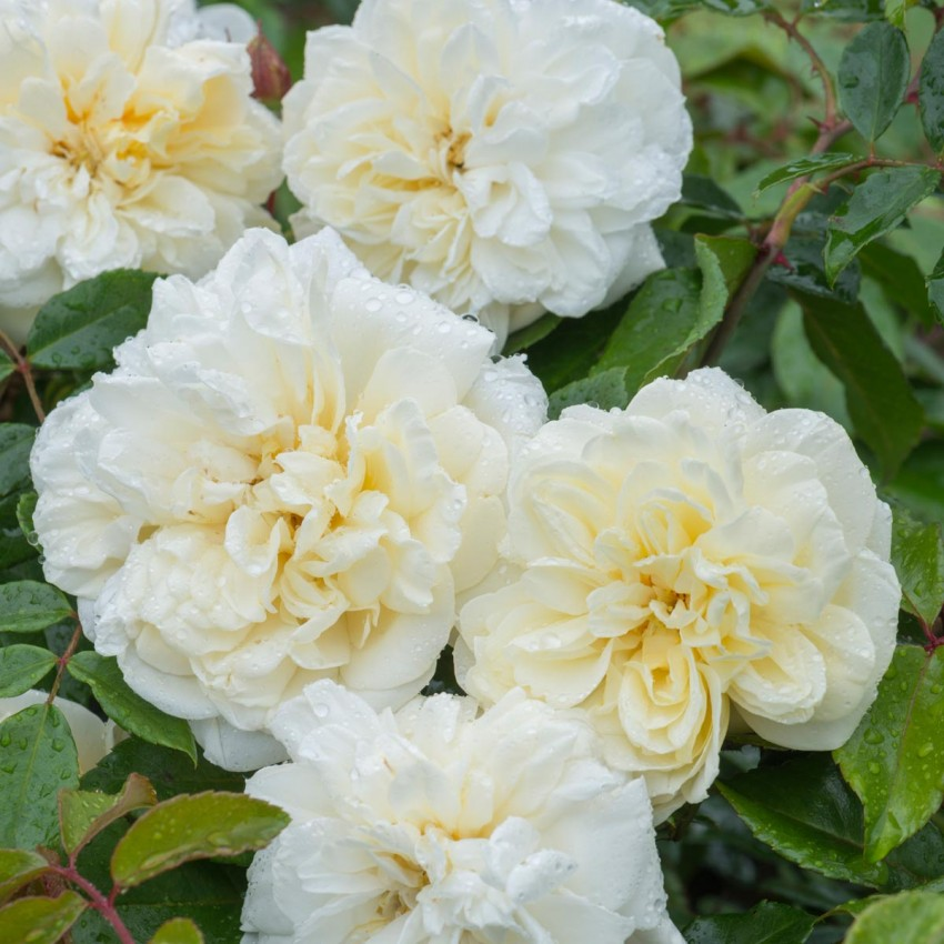 'Alberic Barbier' from £3.50