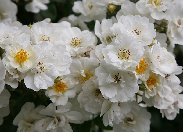 'Rambling Rector' from £3.50