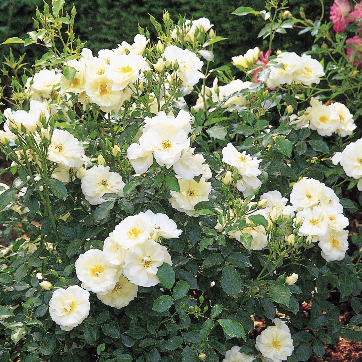 'Flower Carpet White' from £5.50