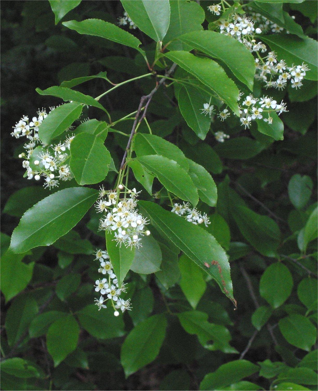 """""""Amerikaanse vogelkers Prunus serotina closeup""""    by    Rasbak    is licensed under    CC BY 3.0"""