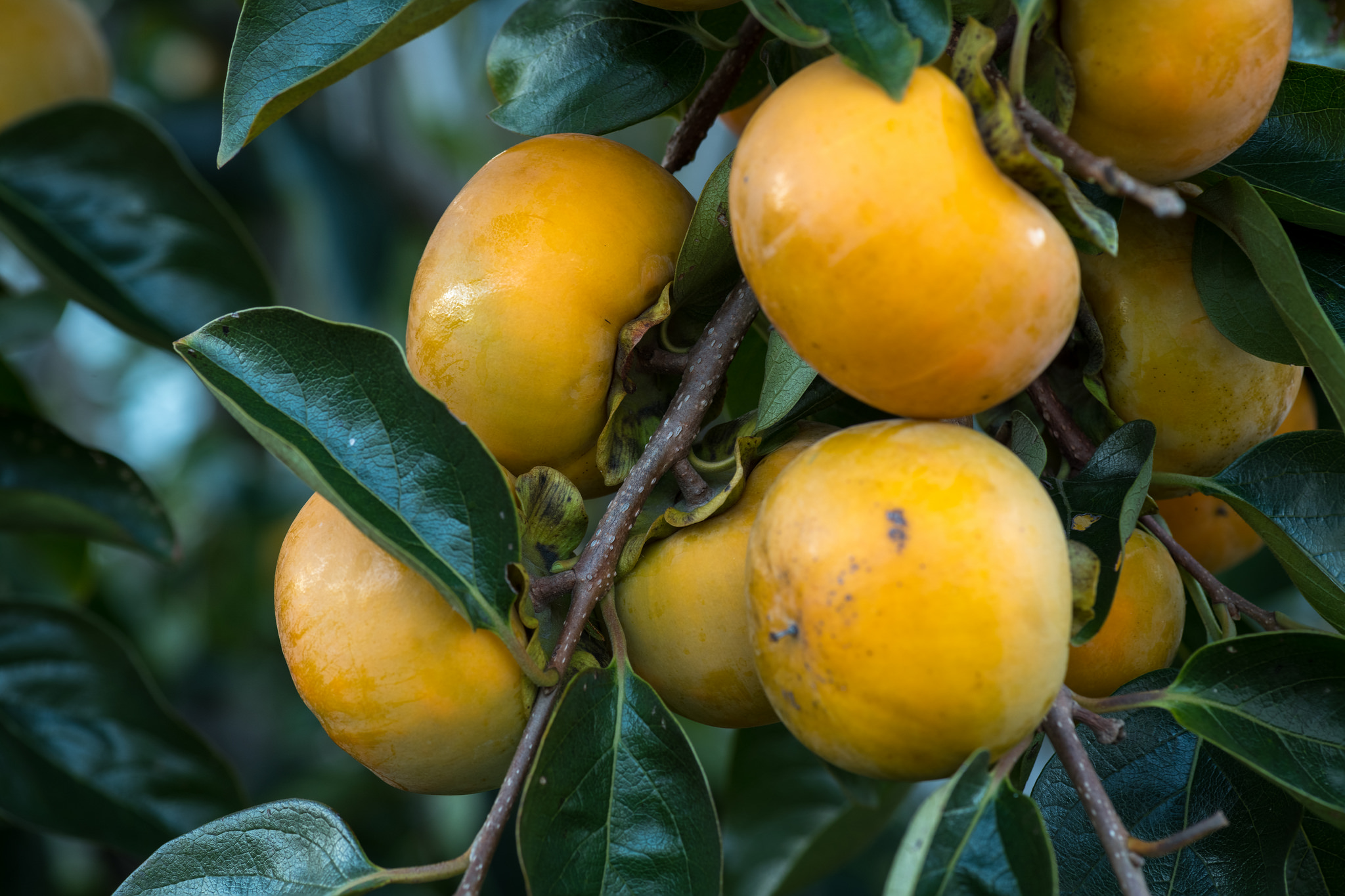 """""""Diospyros virginiana FS4 30 Oct 2018""""    by    Puddin Tain    is licensed under    CC BY 2.0"""