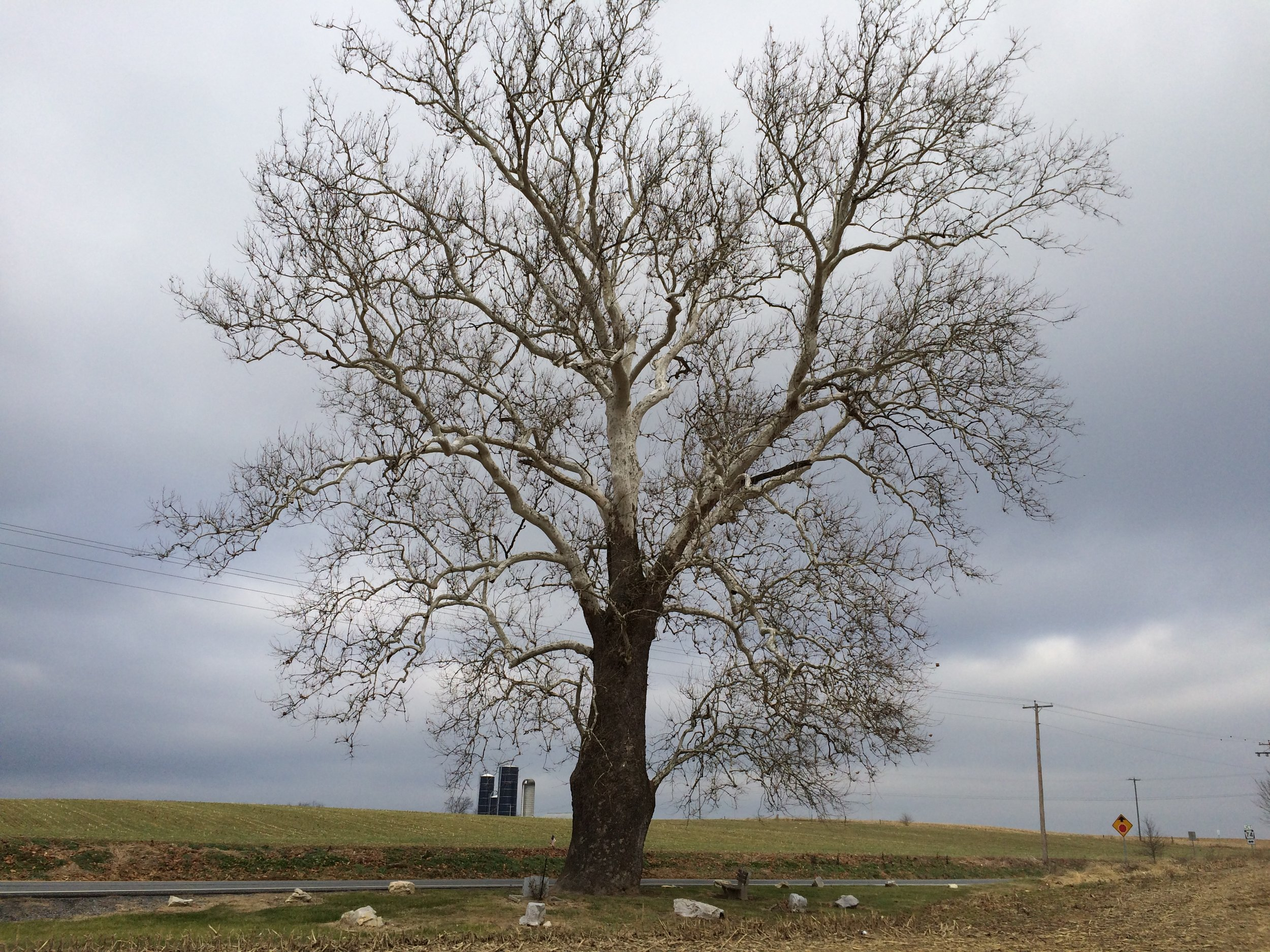 """   300 Year Old American Sycamore Tree   "" by    Robert Cline    is licensed under    CC BY 2.0"