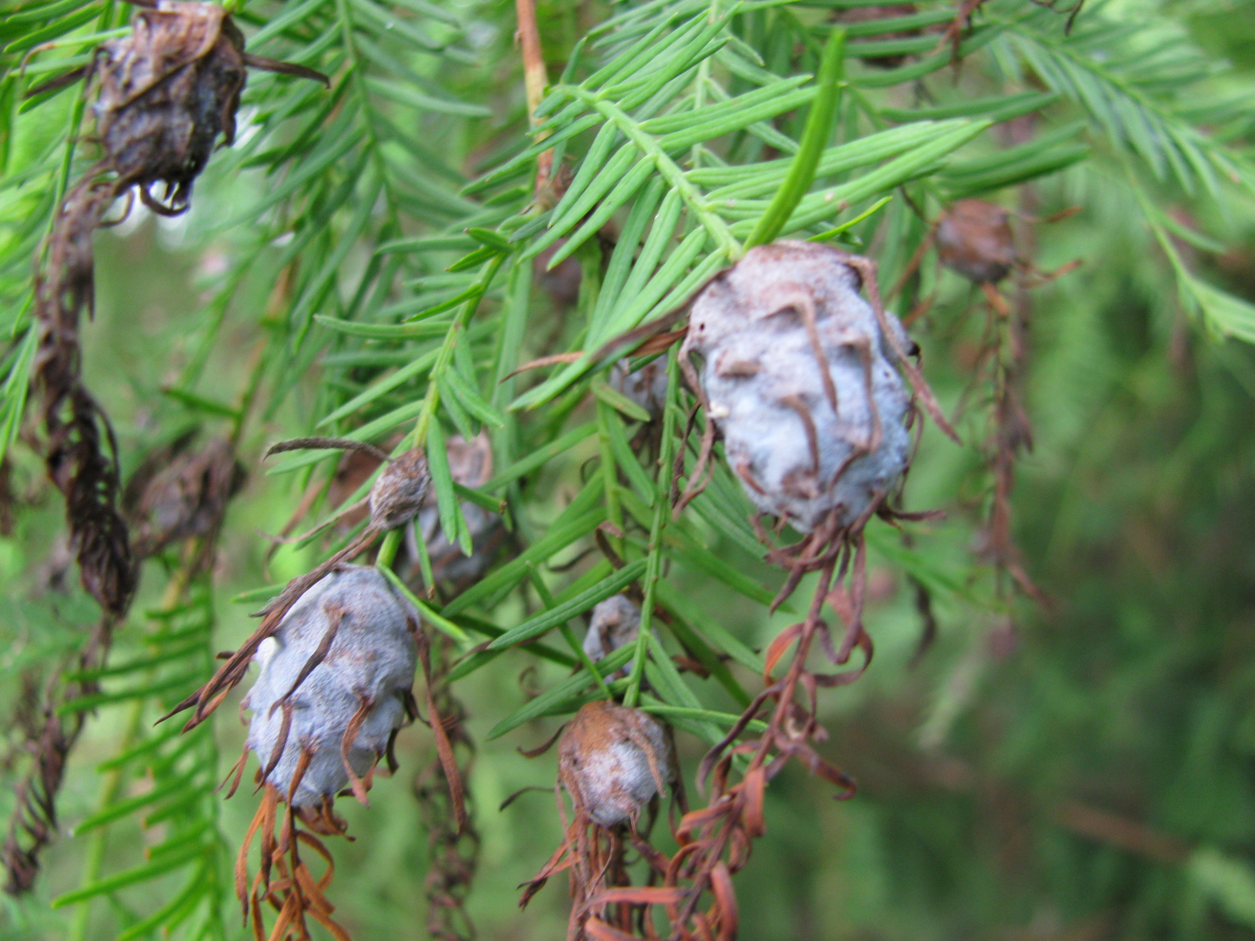 """""""   starr-090925-0263-Taxodium_distichum-fruit-Green_Cay_Wetlands-Florida   """" by    Forest and Kim Starr    is licensed under    CC BY 2.0"""
