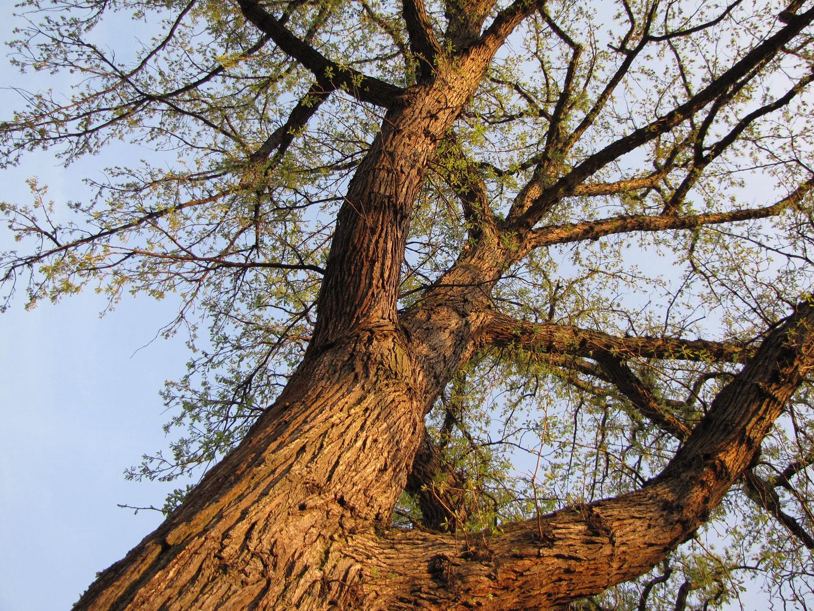 """   Bur Oak   "" by    Katja Schulz    is licensed under    CC BY 2.0"