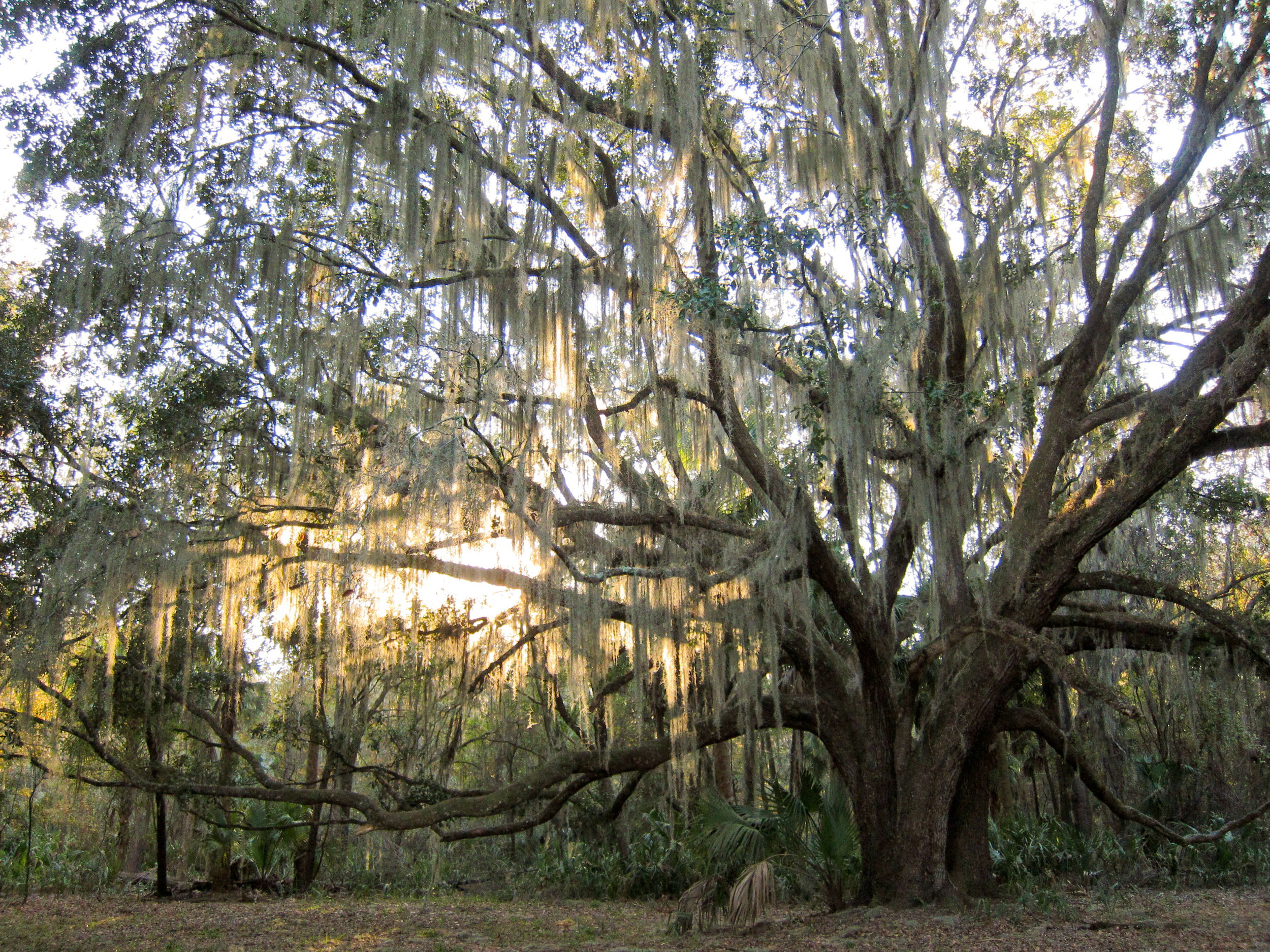 """""""   Paynes Prairie Preserve State Park Lake Trail southern live oak (Quercus virginiana)   """" by    Miguel Vieira    is licensed under    CC BY 2.0"""
