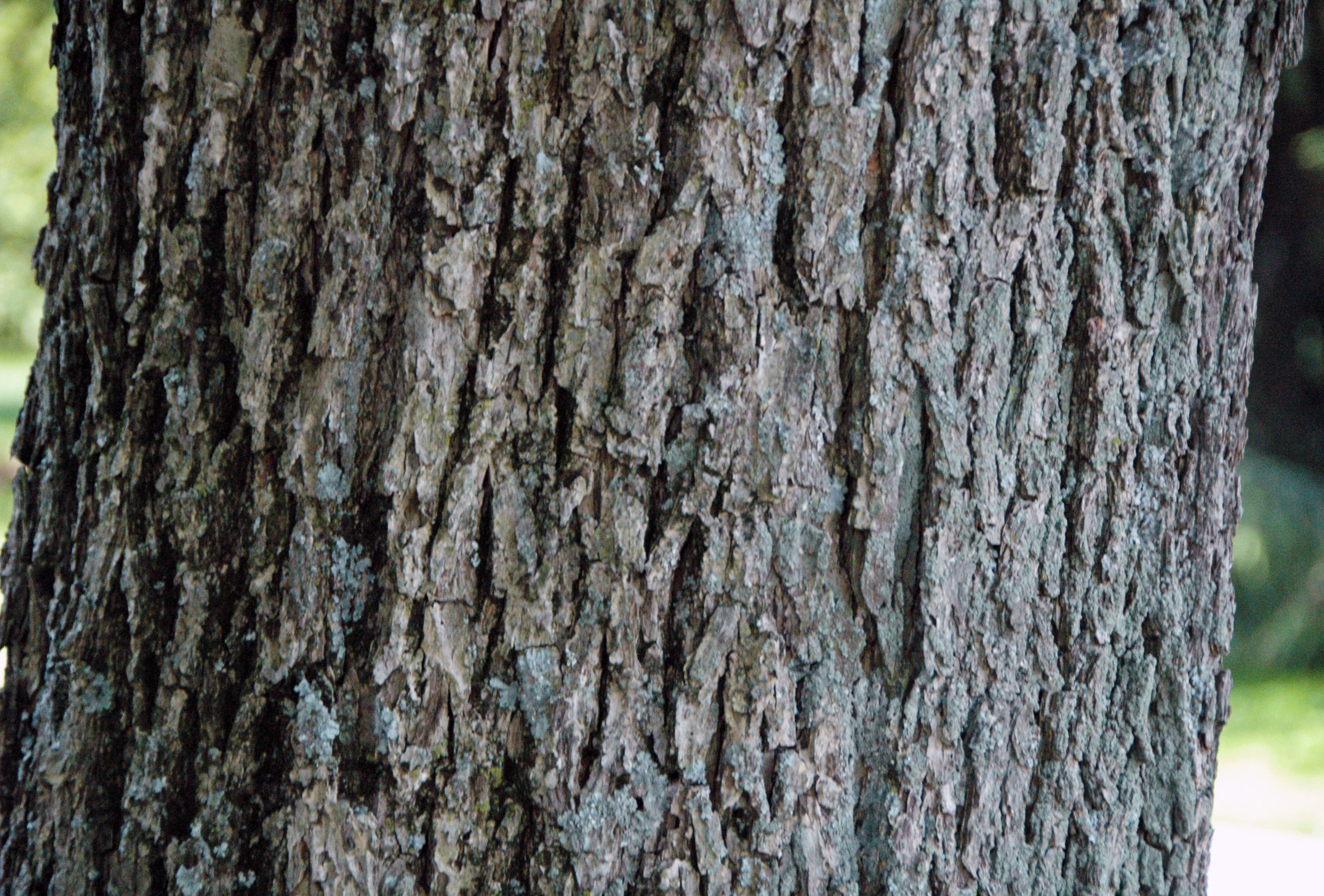 """   Carya illinoinensis (pecan tree) 4   "" by    James St. John    is licensed under    CC BY 2.0"