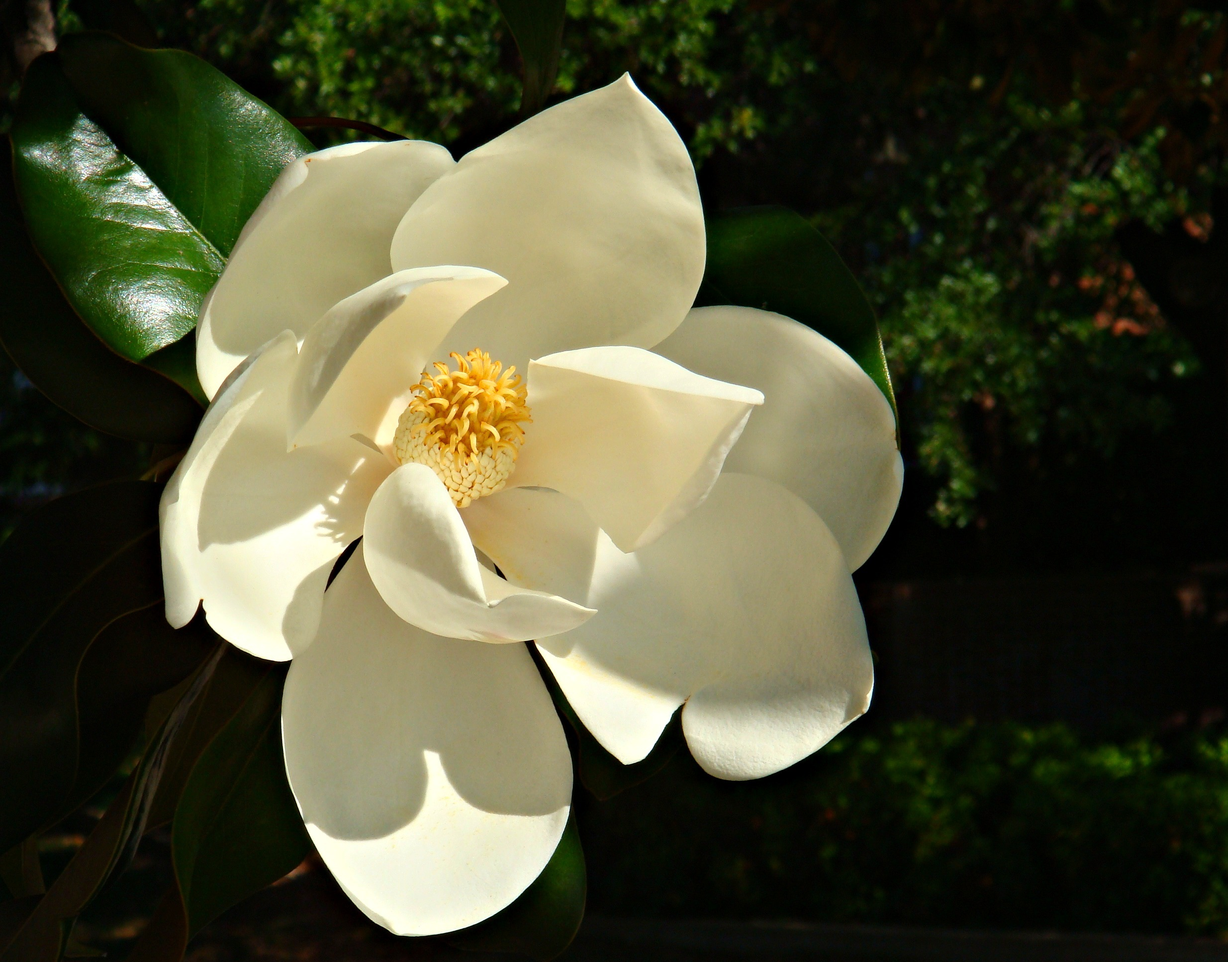 """   Magnolia   "" by    CameliaTWU    is licensed under    CC BY 2.0"