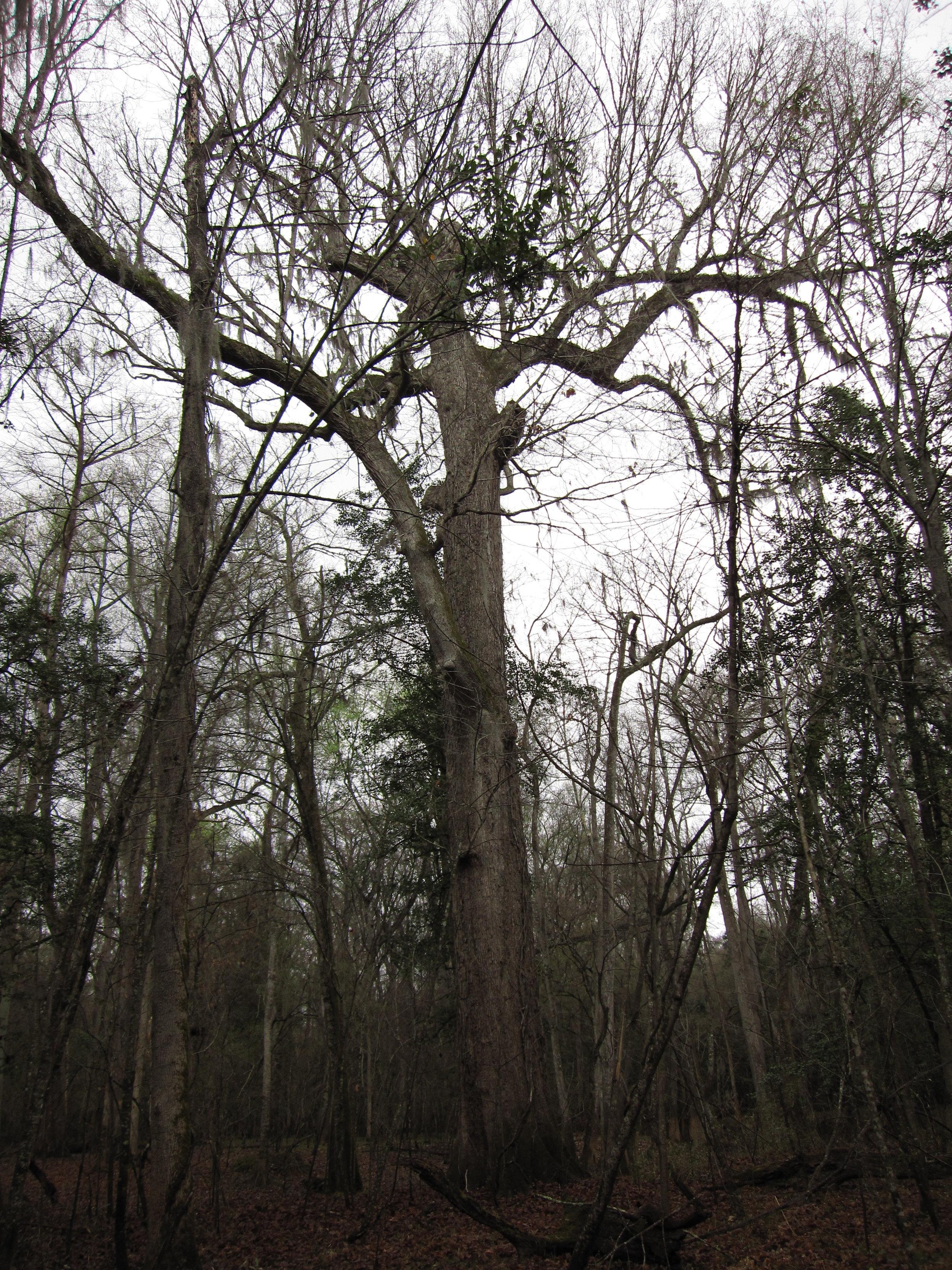 """   Swamp Chestnut Oak   "" by    Chris M Morris    is licensed under    CC BY 2.0"