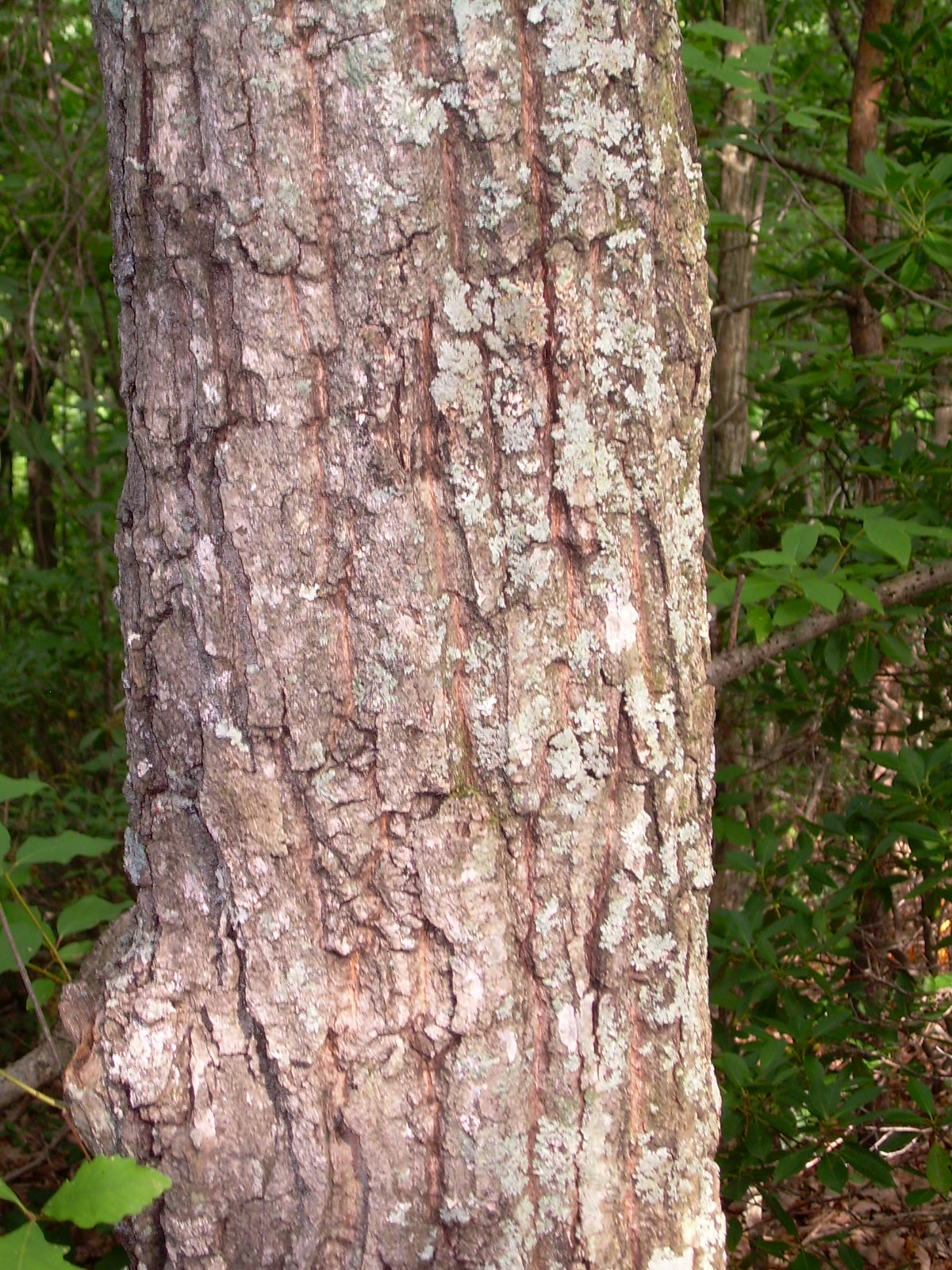 """""""   trunk3-74cmcircumference   """" by    Melissa Wilkins    is licensed under    CC BY 2.0"""
