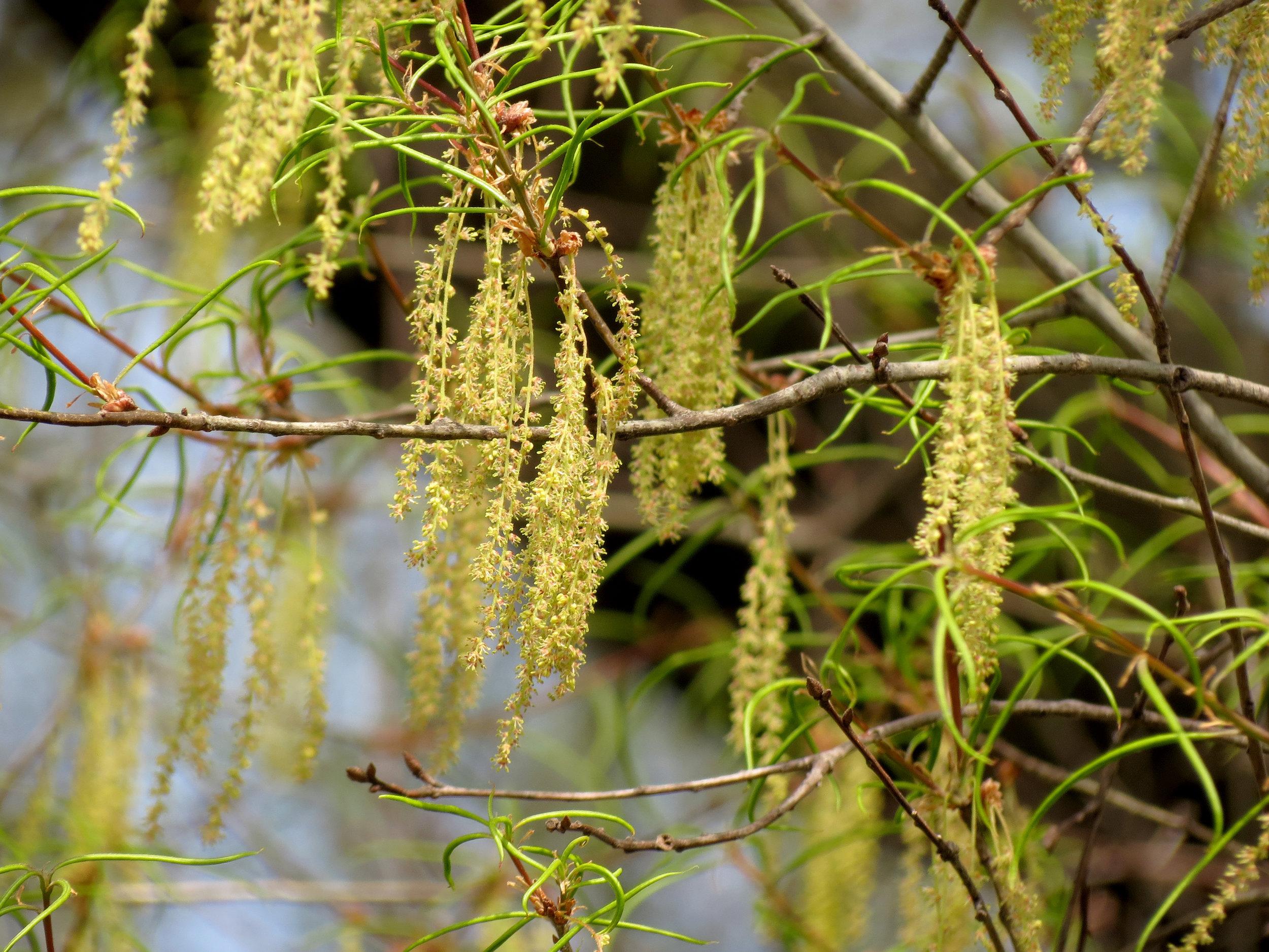 """   Willow Oak   "" by    Katja Schulz    is licensed under    CC BY 2.0"