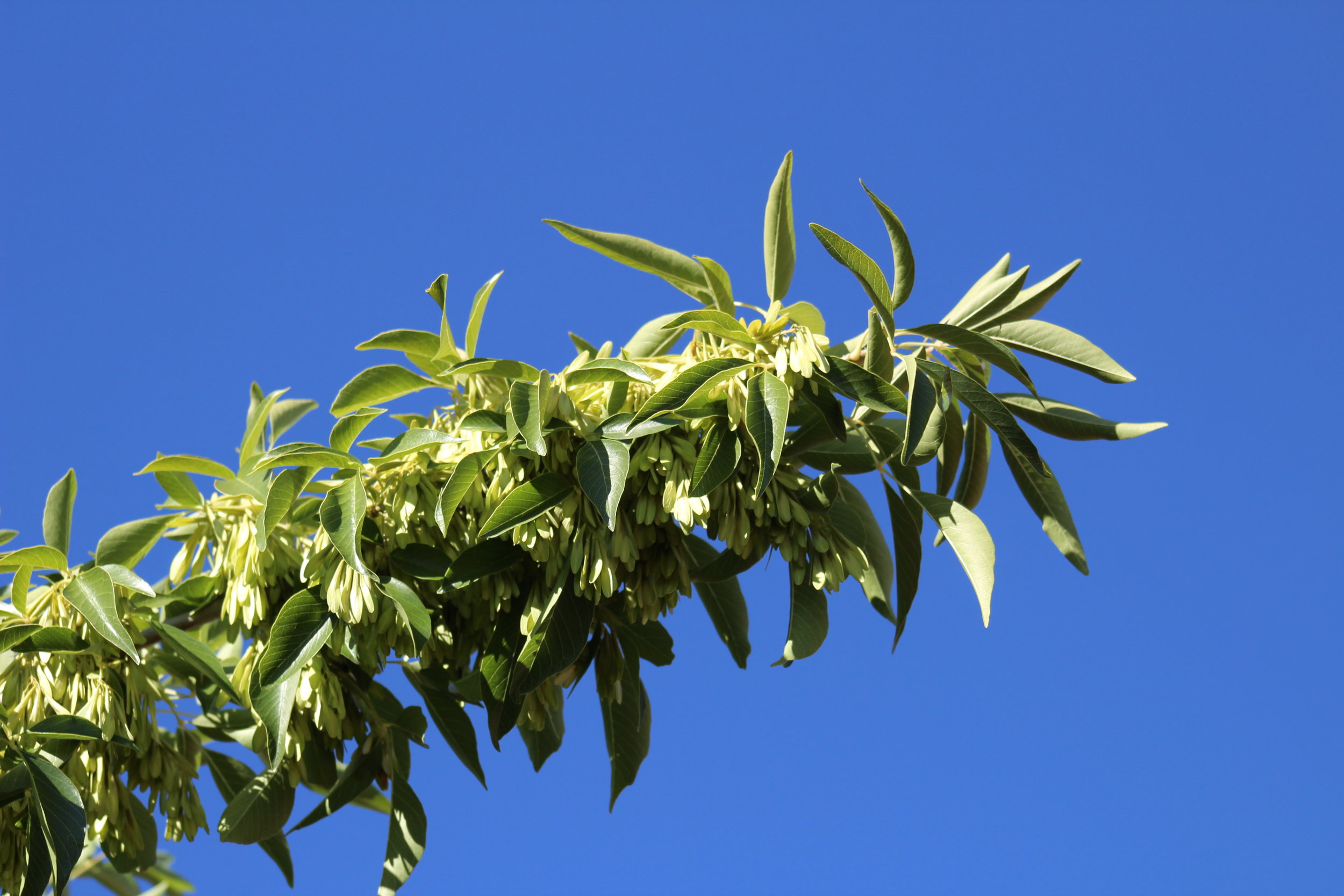 """""""   IMG_0249 Arizona Ash - Fraxinus velutina   """" by    Jon. D. Anderson    is licensed under    CC BY 2.0"""