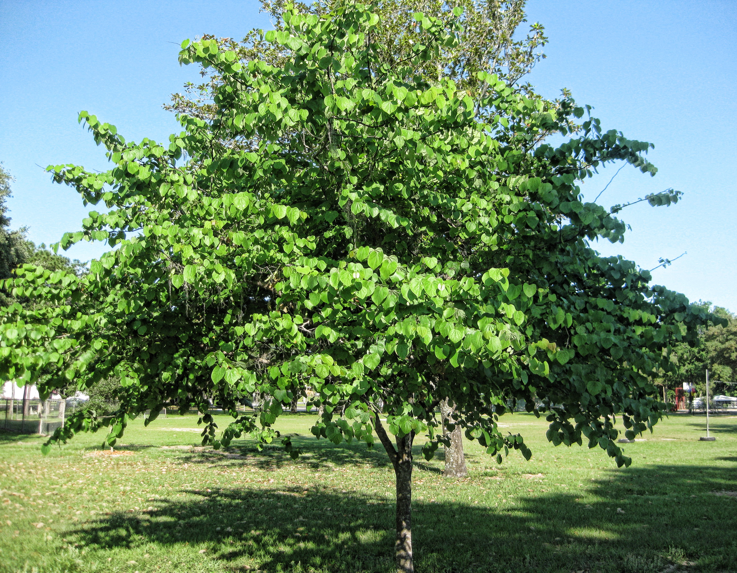 """""""   Popcorn Tree   """" by    Richard Elzey    is licensed under    CC BY 2.0"""