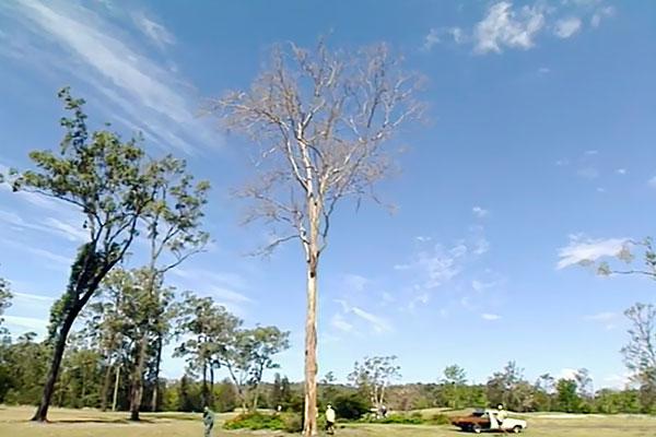 Dead dangerous tree