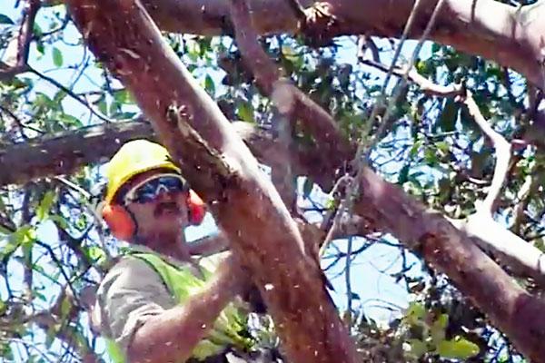 Pruning--Arborist-is-pruning-Brush-Box--1b.jpg