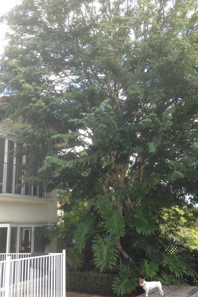 Pruning-Leopard-Tree-ovehanging-house-&-pool-4a.jpg