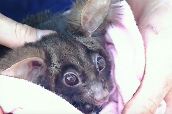 Wild-Life-Rescue---Ring-Tailed-Possum-survives-tree-removal-1e.jpg
