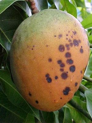 Mango-Bacterial-Black-Spot-in-fruit.jpg