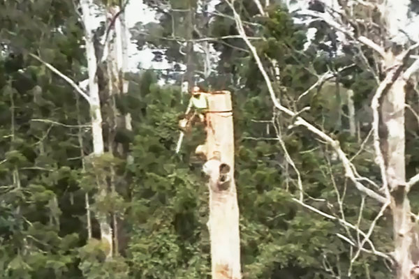 The dead Eucalyptus Grandis:   Crown of the tree was safely removed