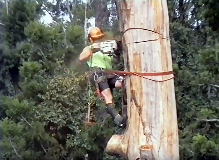 The dead Eucalyptus Grandis:   Preparing for directional felling