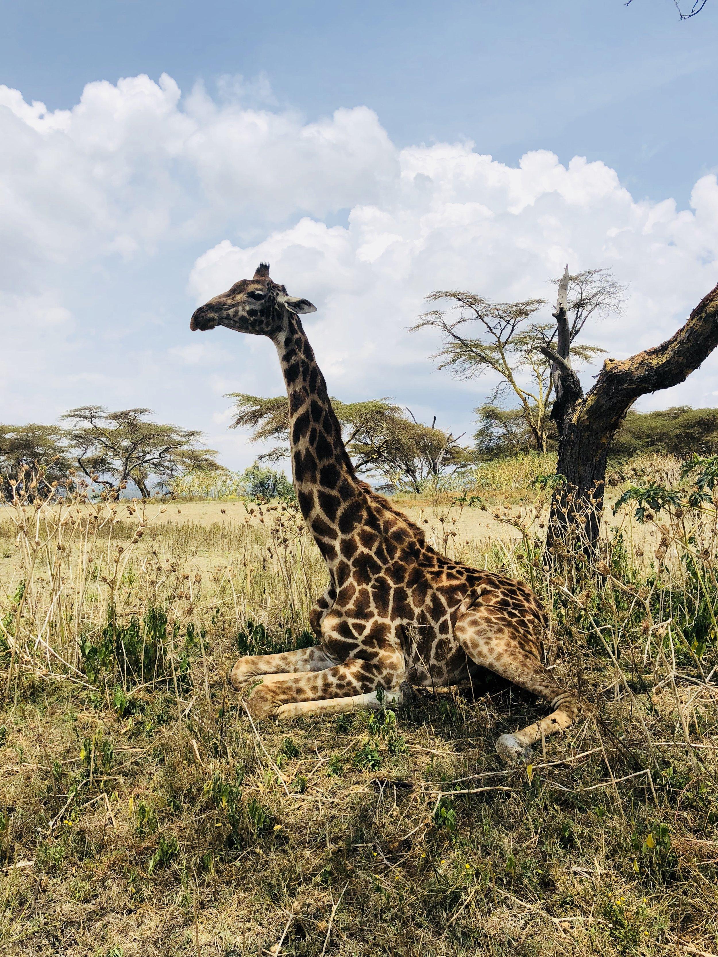 Giraffe at Rest, Crescent Island, Lake Naivasha